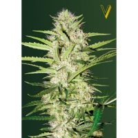 Auto Cheese - Victory Seeds