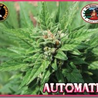 Automatic - Big Buddha Seeds