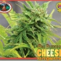 Cheese Auto - Big Buddha Seeds