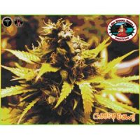 Cheese Dawg - Big Buddha Seeds