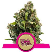 Candy Kush Express (Fast Version) - Royal Queen Seeds