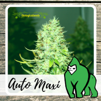 Auto Maxi - Biological Seeds